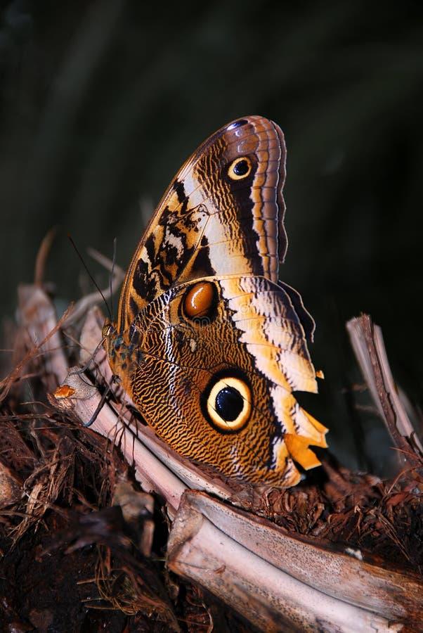 κουκουβάγια πεταλούδων στοκ φωτογραφίες με δικαίωμα ελεύθερης χρήσης