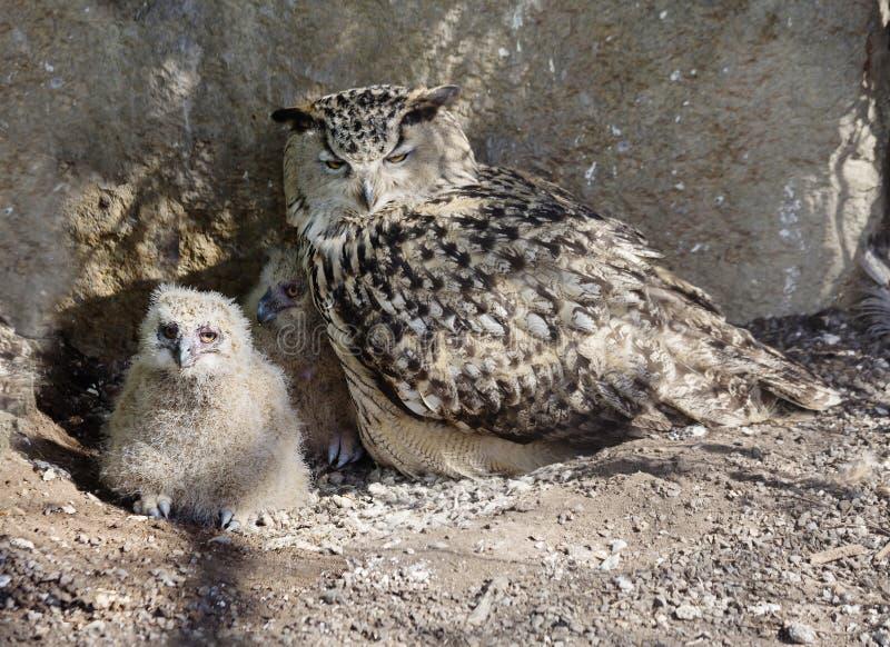 Κουκουβάγια πουλιών Το θηλυκό με το νεοσσό στοκ εικόνες