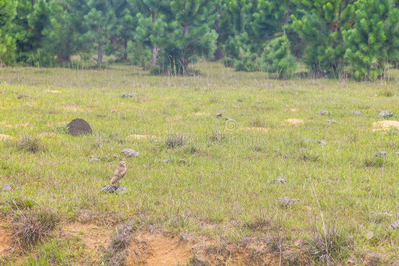 Κουκουβάγια σε ένα αγρόκτημα Lagoa do Peixe στη λίμνη στοκ φωτογραφίες με δικαίωμα ελεύθερης χρήσης