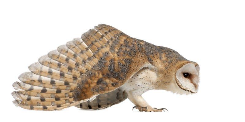 Κουκουβάγια σιταποθηκών, Tyto alba, 4 μηνών, στάση στοκ φωτογραφία με δικαίωμα ελεύθερης χρήσης