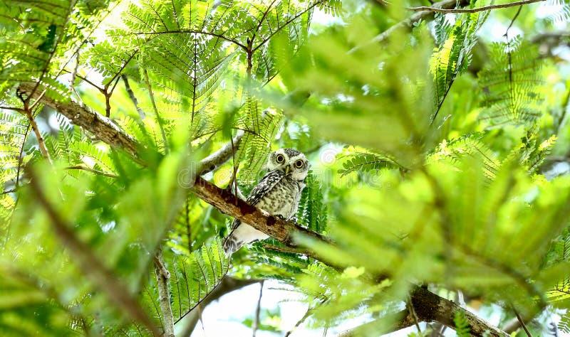 Κουκουβάγια στο δέντρο στοκ φωτογραφία