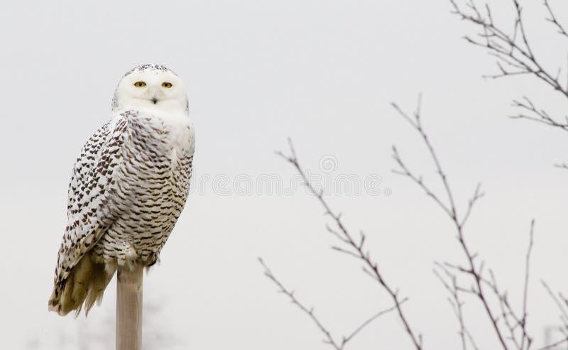 Κουκουβάγια χιονιού στοκ εικόνες