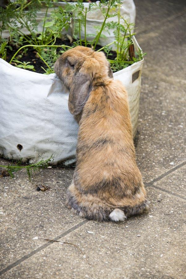Κουνέλι που τρώει τις κορυφές καρότων στον κήπο στοκ φωτογραφίες