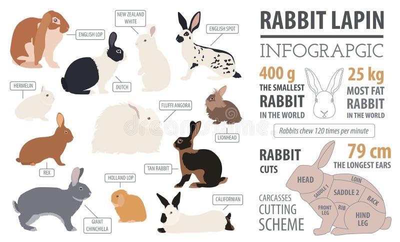Κουνέλι, lapin infographic πρότυπο φυλής Επίπεδο σχέδιο διανυσματική απεικόνιση