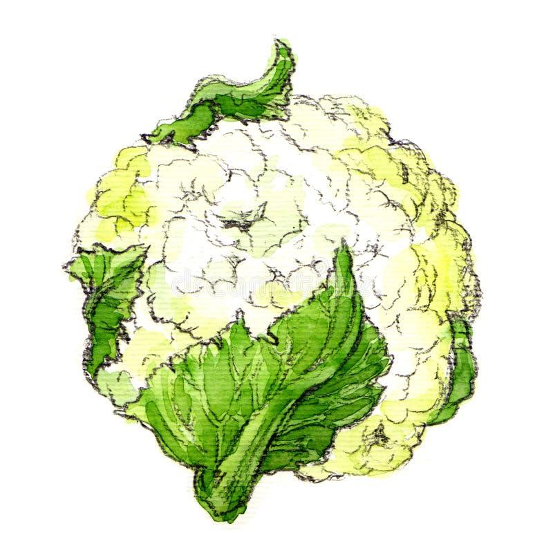 Κουνουπίδι Watercolor που απομονώνεται απεικόνιση αποθεμάτων