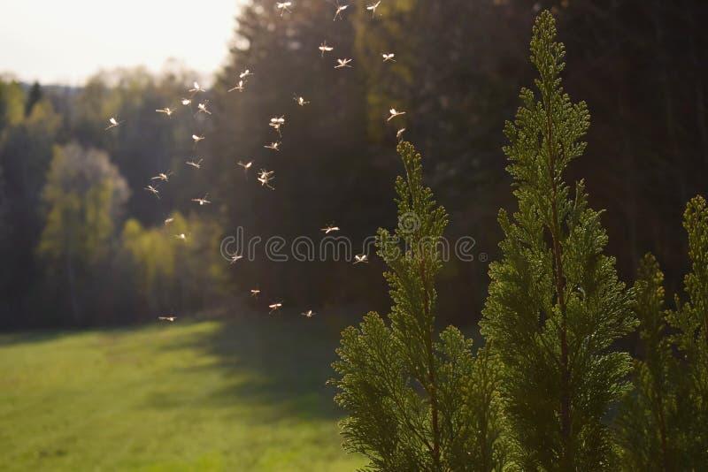 Κουνούπια που πετούν στο φως ηλιοβασιλέματος στοκ εικόνες