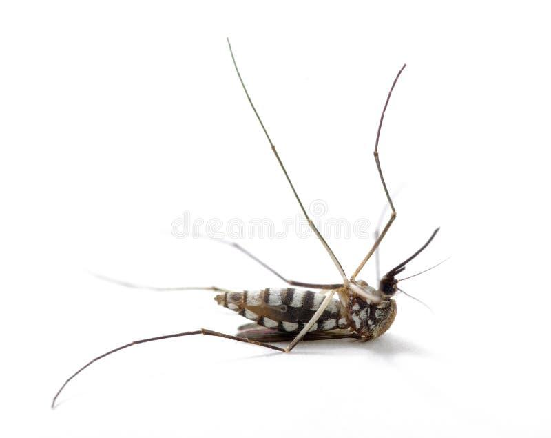 Κουνούπι εντόμων στοκ φωτογραφία με δικαίωμα ελεύθερης χρήσης