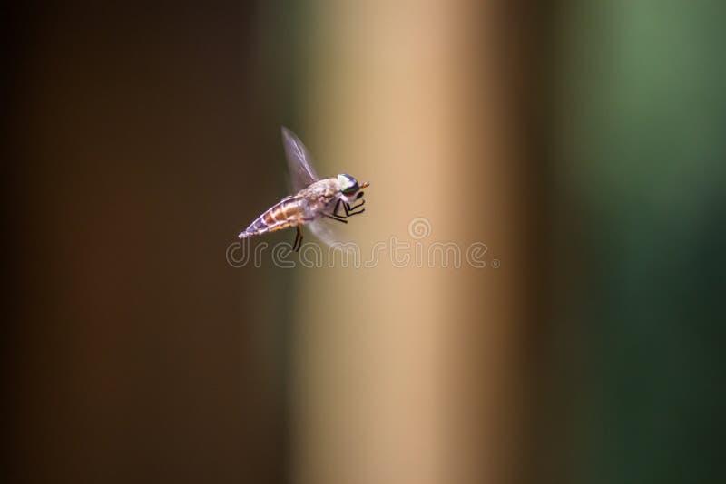 Κουνούπι κατά την πτήση στοκ εικόνα με δικαίωμα ελεύθερης χρήσης