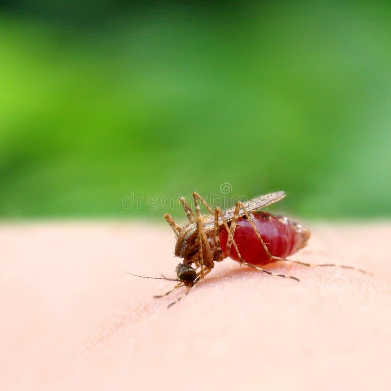 Κουνούπι, κόκκινη στενή επάνω εκλεκτική εστίαση αίματος απορρόφησης κουνουπιών στοκ εικόνες