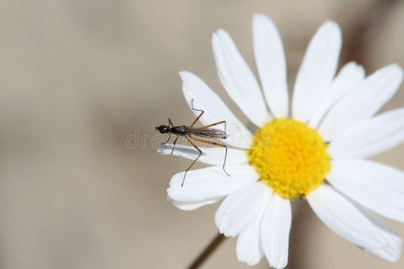 κουνούπι λουλουδιών στοκ εικόνα με δικαίωμα ελεύθερης χρήσης