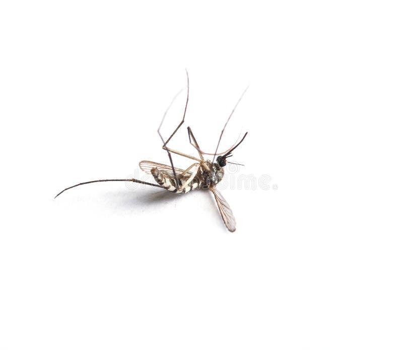 Κουνούπι που απομονώνεται στην άσπρη ανασκόπηση στοκ εικόνες με δικαίωμα ελεύθερης χρήσης