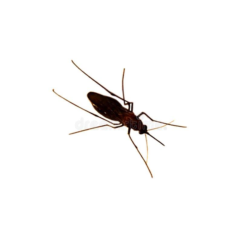 Κουνούπι που απομονώνεται στην άσπρη ανασκόπηση στοκ φωτογραφία