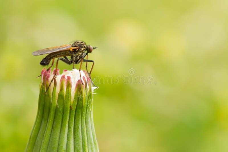 Κουνούπι σε μια πικραλίδα στοκ φωτογραφίες με δικαίωμα ελεύθερης χρήσης