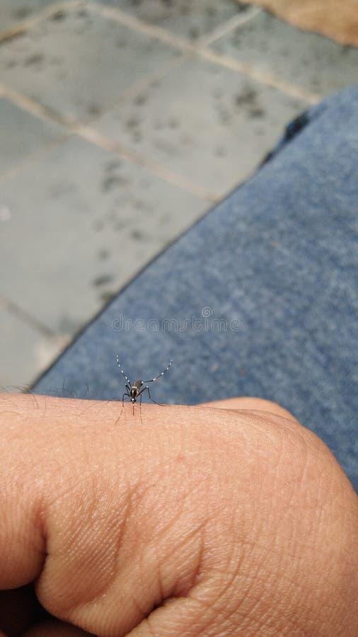 κουνούπι στοκ φωτογραφίες