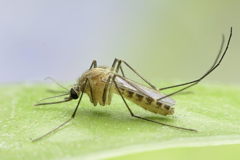 κουνούπι στοκ εικόνα