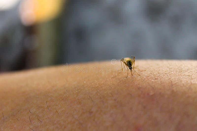 Κουνούπι & x28 Culex pipiens& x29  τροφές με το αίμα του ανθρώπινου σώματος στοκ φωτογραφίες
