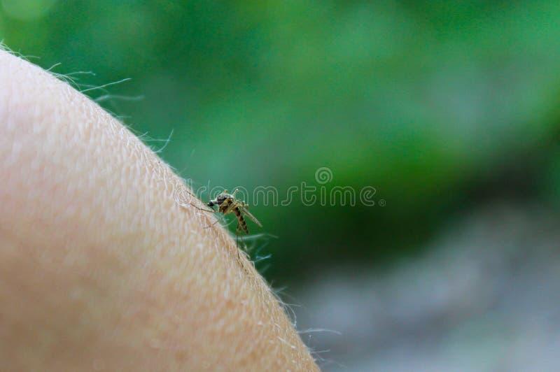 Κουνούπι & x28 Culex pipiens& x29  τροφές με το αίμα του ανθρώπινου σώματος στοκ εικόνα με δικαίωμα ελεύθερης χρήσης