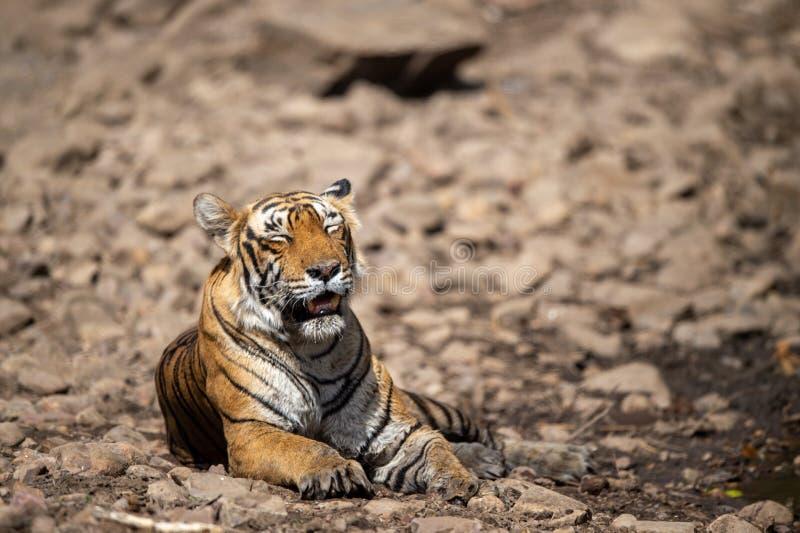Κουρασμένη, αδύνατη και πεινασμένη τίγρη από τις ημέρες Άγρια γάτα στο φυσικό βιότοπο στο εθνικό πάρκο ranthambore, Rajasthan στοκ εικόνες με δικαίωμα ελεύθερης χρήσης