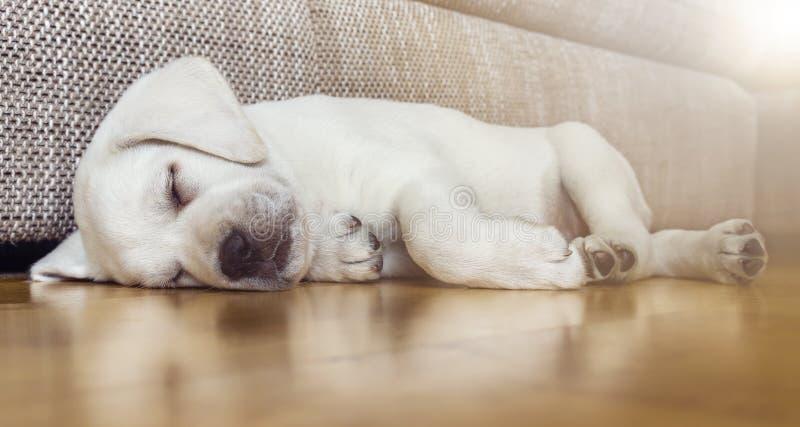Κουρασμένο κουτάβι σκυλιών ύπνου στο πάτωμα παρκέ στοκ εικόνες με δικαίωμα ελεύθερης χρήσης