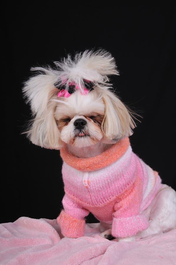 κουρασμένο tzu σκυλιών shih στοκ φωτογραφίες με δικαίωμα ελεύθερης χρήσης