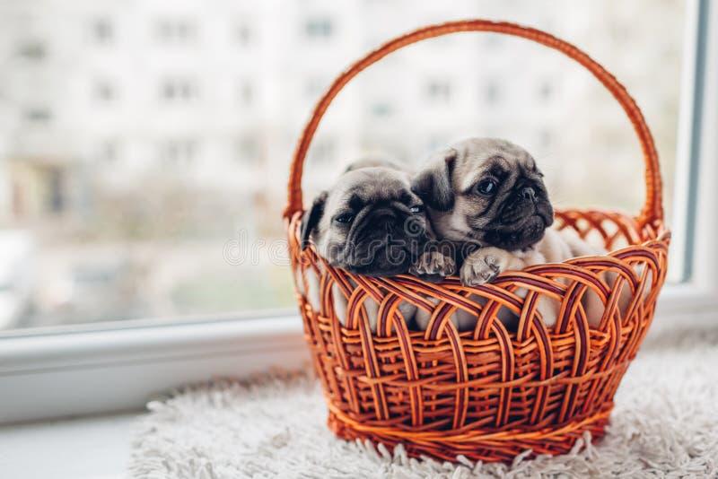 Κουτάβια σκυλιών μαλαγμένου πηλού που κάθονται στο καλάθι Μικρά κουτάβια που έχουν τη διασκέδαση Σκυλιά αναπαραγωγής στοκ εικόνες με δικαίωμα ελεύθερης χρήσης