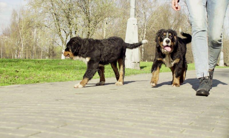 Κουτάβια σκυλιών ποιμένων Bernese σε έναν δρόμο σε ένα πάρκο στοκ εικόνες