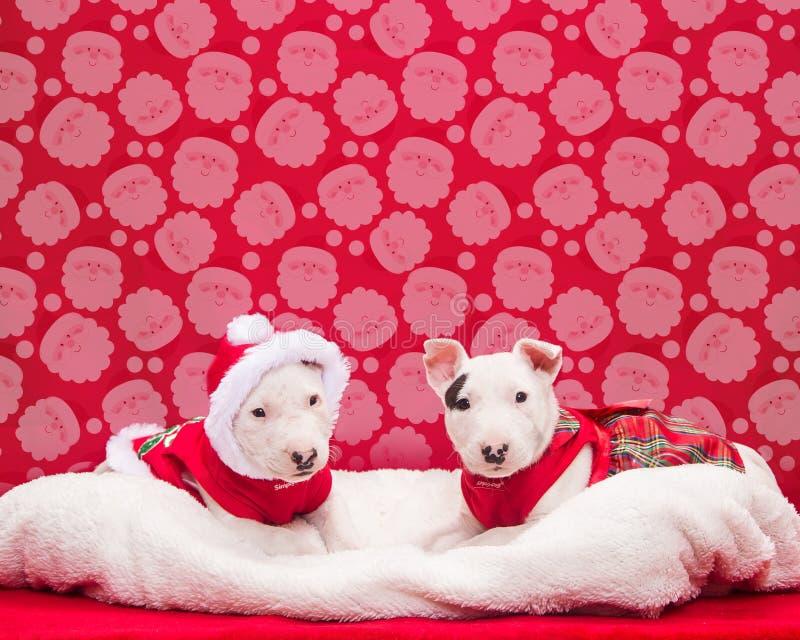 Κουτάβια τεριέ του Bull που κάθονται για τη φωτογραφία Χριστουγέννων τους στοκ φωτογραφίες με δικαίωμα ελεύθερης χρήσης