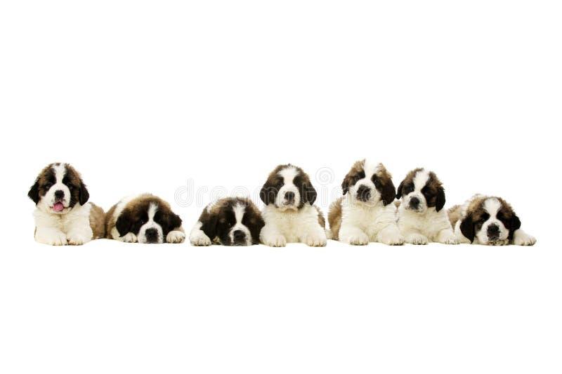 Κουτάβια του ST Bernard που απομονώνονται στο λευκό στοκ εικόνα