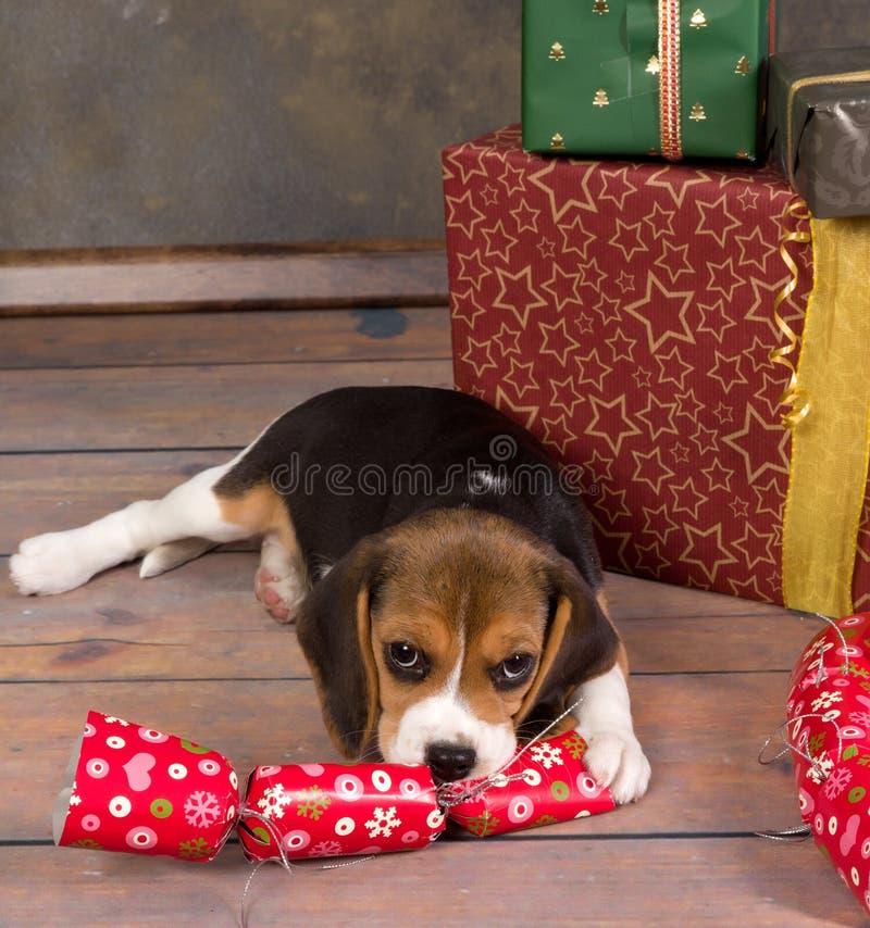 Κουτάβι λαγωνικών με το δώρο Χριστουγέννων στοκ εικόνα με δικαίωμα ελεύθερης χρήσης