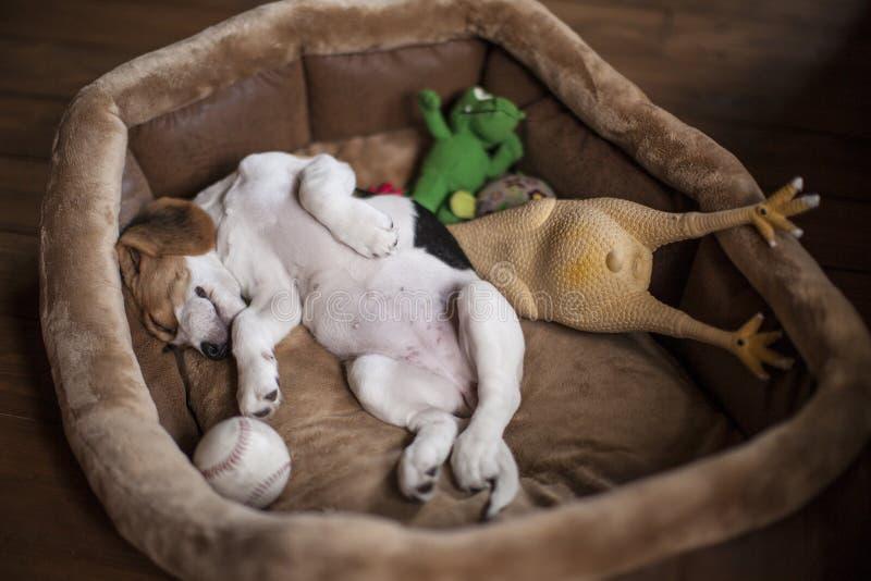 Κουτάβι λαγωνικών ύπνου στοκ εικόνα