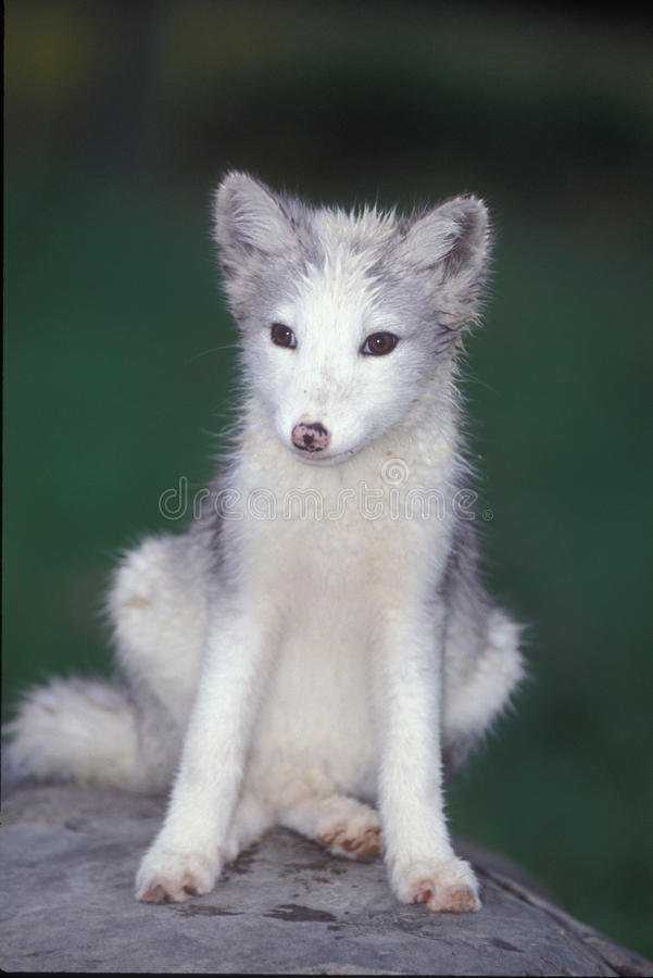 κουτάβι αρκτικών αλεπού&delt στοκ εικόνα