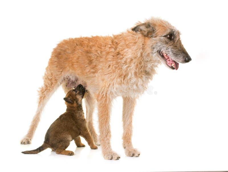 Κουτάβι και ενήλικα βελγικά laekenois σκυλιών ποιμένων στοκ εικόνες