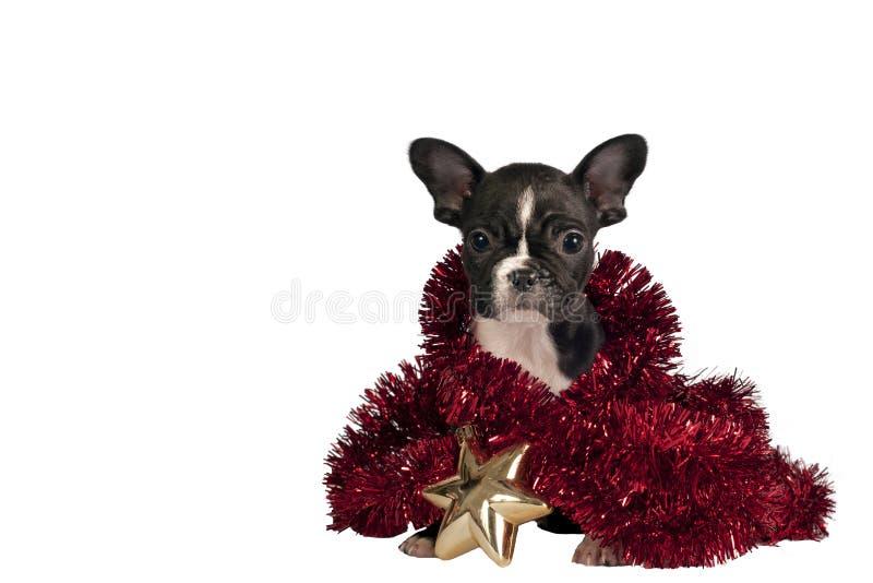 Κουτάβι μπουλντόγκ Χριστουγέννων. στοκ φωτογραφία με δικαίωμα ελεύθερης χρήσης