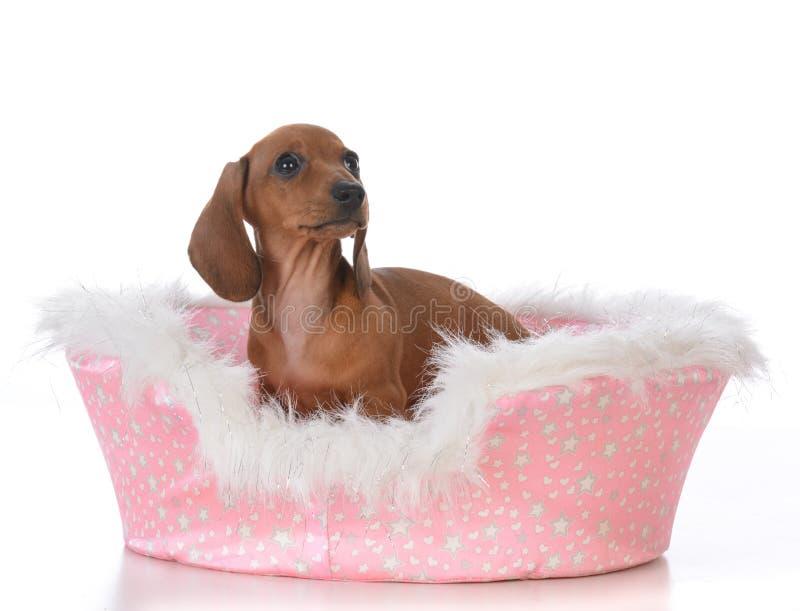 κουτάβι σε ένα κρεβάτι σκυλιών στοκ φωτογραφία με δικαίωμα ελεύθερης χρήσης