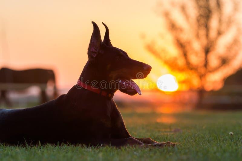 Κουτάβι σκυλιών Doberman στοκ φωτογραφίες με δικαίωμα ελεύθερης χρήσης