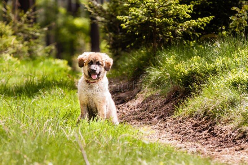 Κουτάβι σκυλιών Leonberger στοκ εικόνες