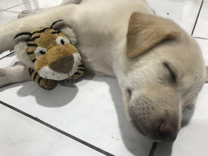 Κουτάβι στήριξης ύπνου με τα γεμισμένα παιχνίδια στοκ εικόνες