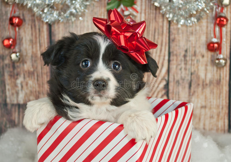 Download Κουτάβι Χριστουγέννων στοκ εικόνα. εικόνα από αυστηρότητας - 62700975