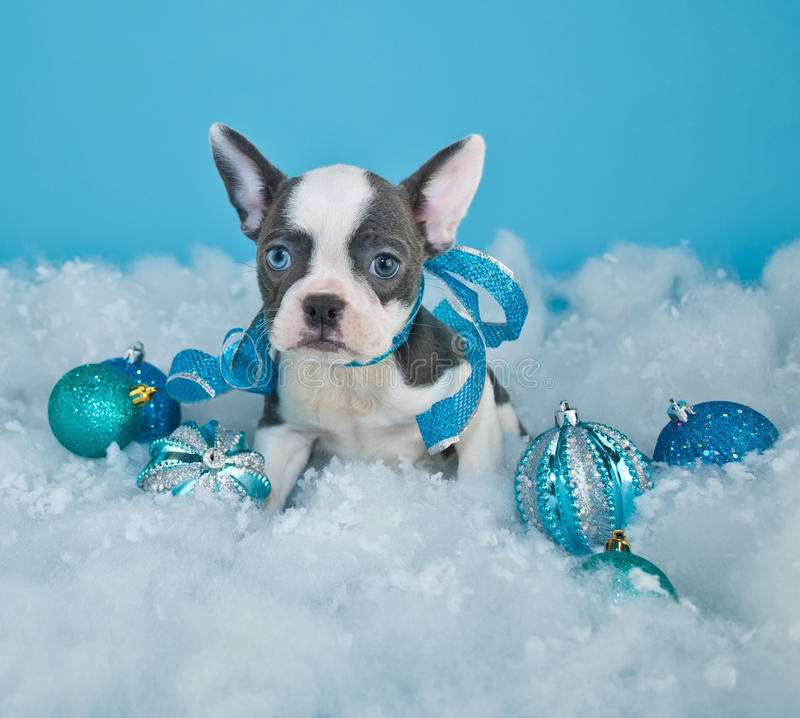 Download Κουτάβι Χριστουγέννων στοκ εικόνες. εικόνα από κυνοειδής - 62701184