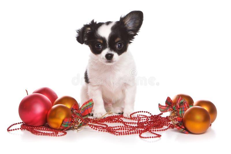 κουτάβι Χριστουγέννων chihuahua στοκ εικόνες με δικαίωμα ελεύθερης χρήσης