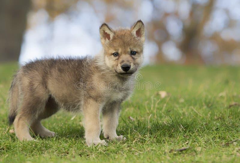 Κουτάβι λύκων στοκ εικόνα