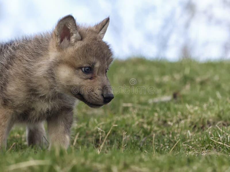 Κουτάβι λύκων στοκ φωτογραφίες