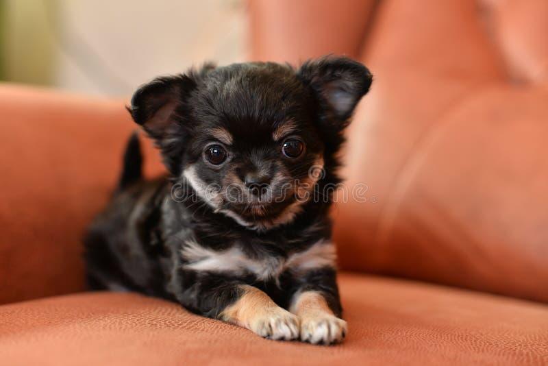 Κουτάβι Chihuahua στοκ εικόνα με δικαίωμα ελεύθερης χρήσης