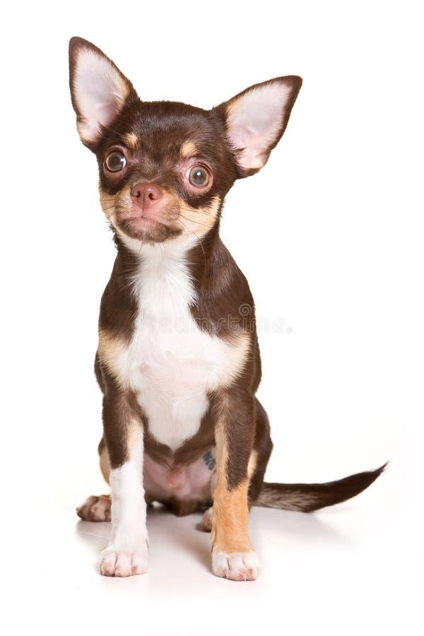 κουτάβι chihuahua στοκ φωτογραφίες με δικαίωμα ελεύθερης χρήσης