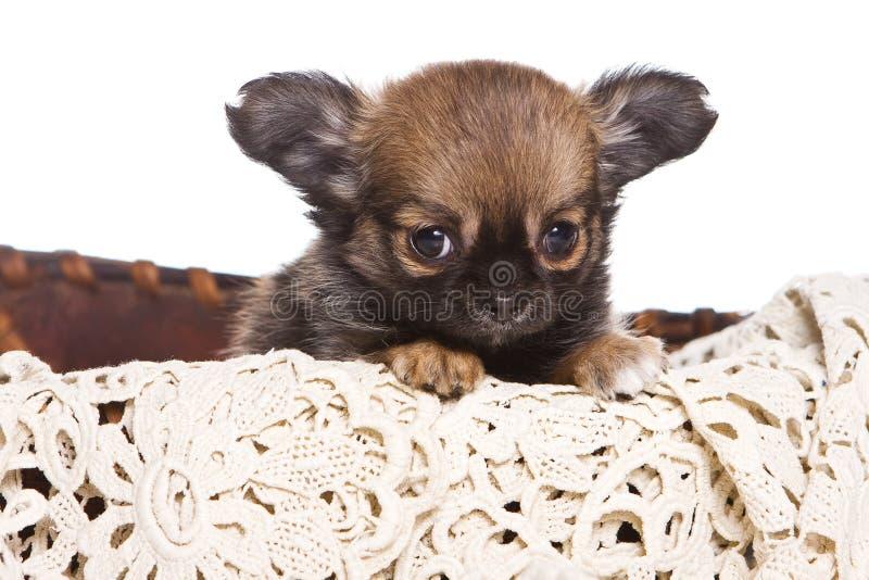 κουτάβι chihuahua στοκ φωτογραφίες