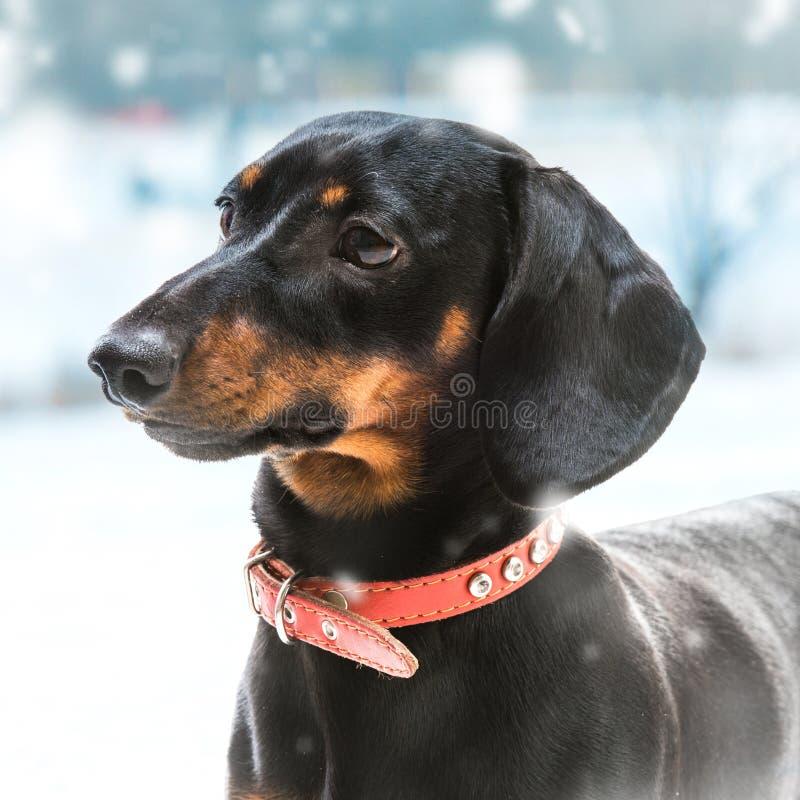 Κουτάβι dachshund στοκ εικόνα με δικαίωμα ελεύθερης χρήσης