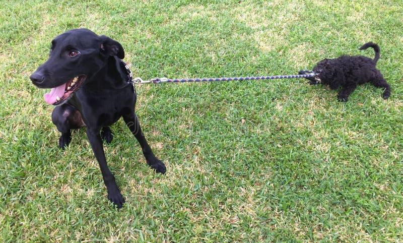 Κουτάβι Labradoodle που τραβά το λουρί του παλαιότερου σκυλιού στοκ φωτογραφίες
