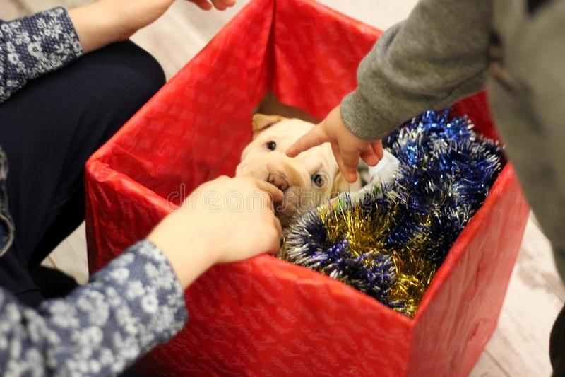 Κουτάβι pei της Shar ως χριστουγεννιάτικο δώρο στοκ εικόνα