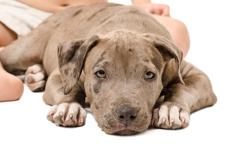 Κουτάβι Pitbull που βρίσκεται στα πόδια του παιδιού στοκ εικόνα με δικαίωμα ελεύθερης χρήσης