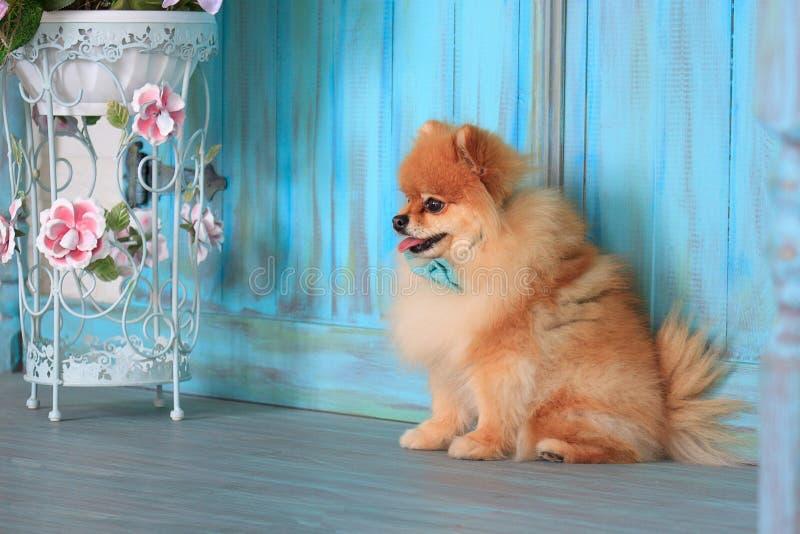Κουτάβι Pomeranian sitts κοντά στον ξύλινο τοίχο στοκ εικόνα με δικαίωμα ελεύθερης χρήσης